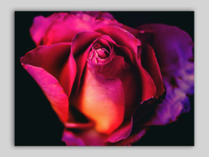 Stampa su tela canvas Purple rose quadri fiori